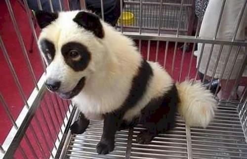panda chien