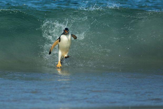 Les cours de surf (pour les pingouins qui commencent à s'habituer au réchauffement).
